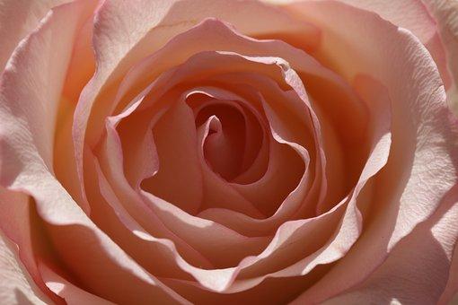 Rose, Sunlit Rose, Single Rose, Peach Rose, Flower