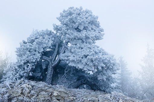 Frost, Fog, Tree, Pine, Hoarfrost, Cold, Frozen