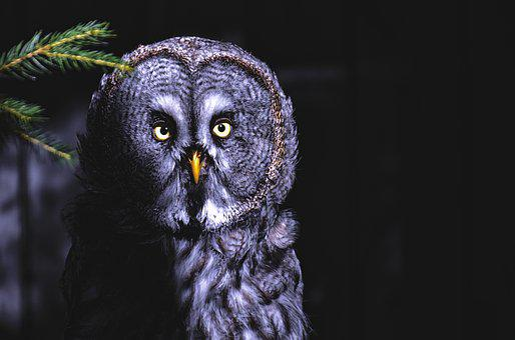 Bart Owl, Owl, Bird, Plumage, Mouse Hunter