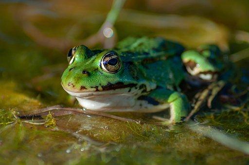 Frog, Water, Pond, Lake, Garden Pond, Amphibians, High