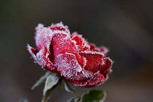 Rose, Winter, Flower, Icing, Frost, Red