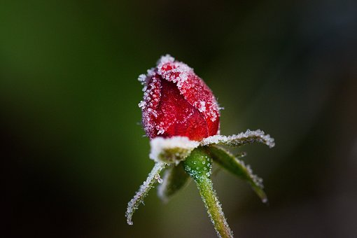 Rose, Flower, Red, Winter, Frost, Icing, Close Up