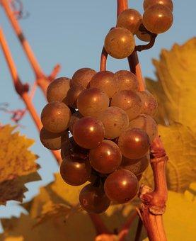 Grapes, Autumn, Fruit, Ripe, Vine, Grapevine