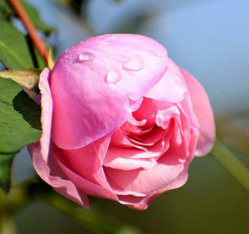 Rose, Flower, Dew Drops, Bloom, Pink, Romance, Blossom