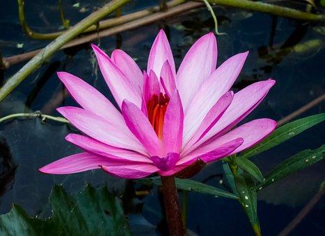 Romance, Flora, Lotus, Beautiful, Bloom, Floral