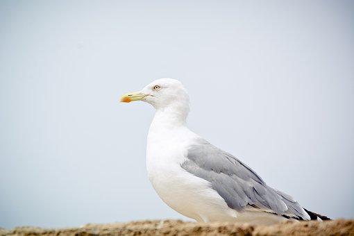 Seagull, Yellow-legged Gull, Bird, Animal, Nature
