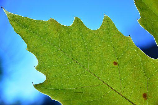 Leaf, Autumn, Maple Leaf, Coloring, Structure, Texture