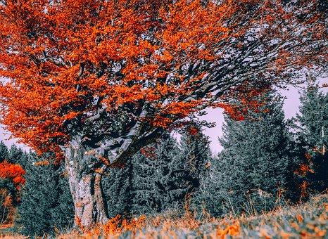 Tree, Beech, Autumn, Deciduous Tree, Autumn Forest