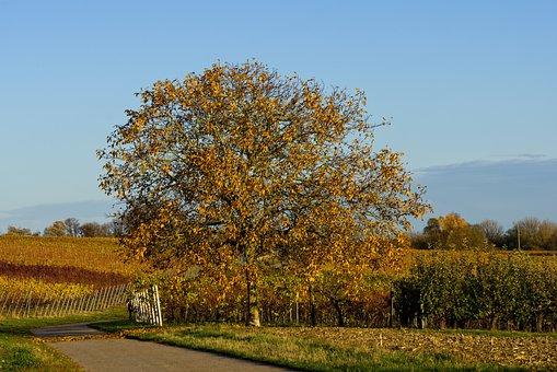 Tree, Autumn, Colorful, Leaves, Vineyards, Wine, Vines