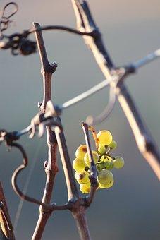 Wine, Vine, Grapevine, Grapes, Rebstock, Winegrowing