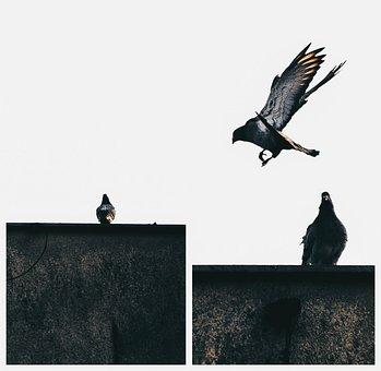 Bird, Dove, Pen, Flight, Beak, Beautiful, Wings, Wing