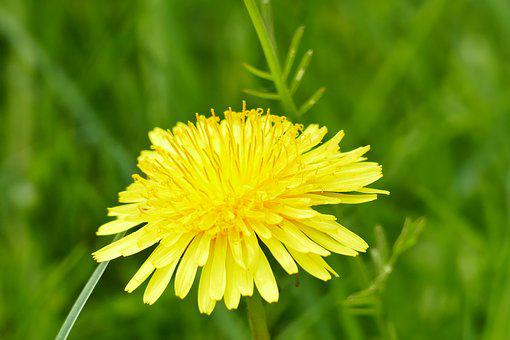 Dandelion, Spring, Flower, Yellow, Blossom, Bloom