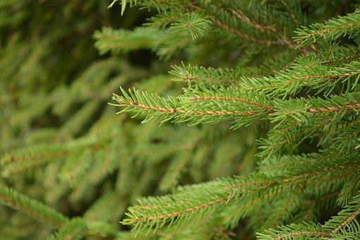 Branches, Aesthetic, Fir Tree, Conifer, Leaves, Autumn