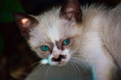 Cat, Pet, Feline, Animals, Portrait, Pets, Eyes, Kitten