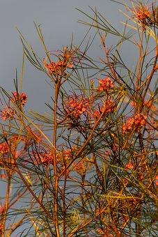 Grevillea, Flowers, Shrub, Australian, Native, Pink