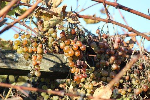 Grapes, Wine, Vine, Grapevine, Autumn, Raisins