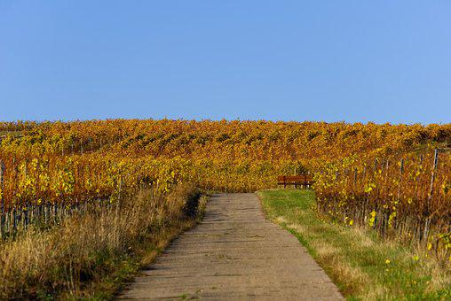 Vineyards, Vines, Vineyard, Autumn, Rebstock, Leaves