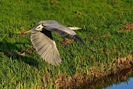 Gray Heron, Bird, Flight, Wings, Feathers, Flying