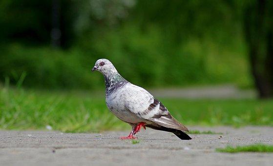 Dove, Bird, Nature, Feathers, Beak, Pen, Gentleness