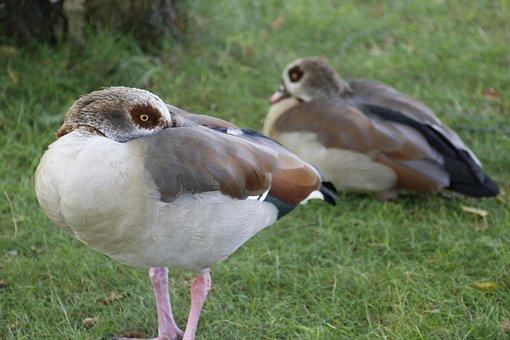 Geese, Egyptian Geese, Waterfowl, Birds, Pair, Grass