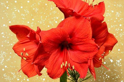 Amaryllis, Amaryllis Plant, Blossom, Bloom