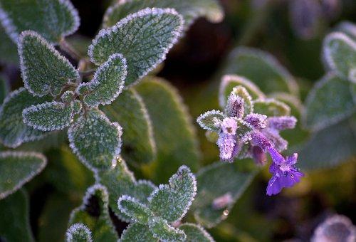 Frozen, On Frozen, Flower, Blossom, Bloom, Leaves, Cold