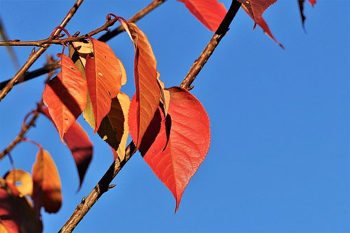 Leaves, Red, Autumn, Fall Color, Nature, Branch, Bright