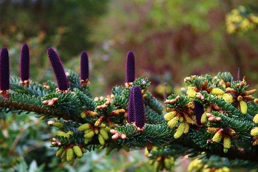 Tap, Fir Tree, Nature, Softwood, Christmas, Fir Green