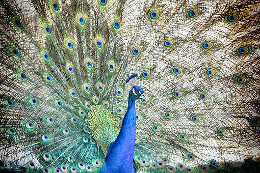Peacock, Bird, Colorful, Plumage, Feather, Color