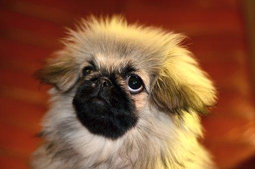 Pekingese, Puppy, Dog, Cute, Portrait, Furry, Eyes