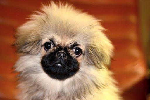 Pekingese, Puppy, Dog, Furry, Cute, Charming, Eyes