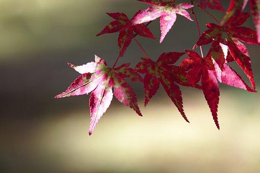 Japan, Autumn, Nanzen-ji, Red, Maple Leaf, Fall Foliage