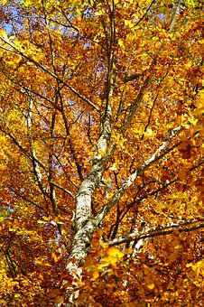 Beech, Autumn, Leaves, Fall Foliage, Bright, October