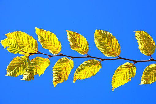 Leaves, Leaf Coloring, Fall Foliage, Fall Color, Yellow