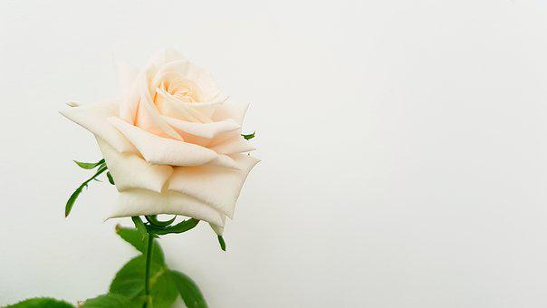Rose, Flower, Bloom, Petal, Roses, Aroma, Nature, Flora