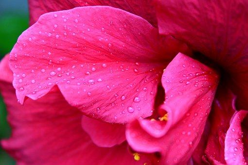 Petal, Flower, Petals, Flora, Purple, Fuchsia, Aroma