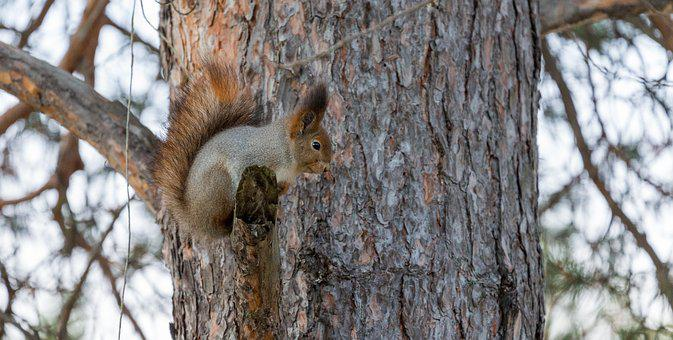 Squirrel, Red, Tree, Funny, Curious, Cute, Nature