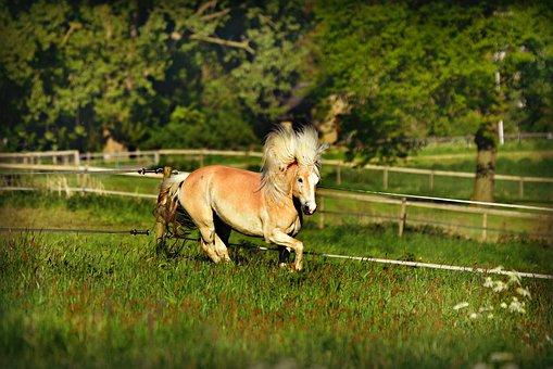 Horse, Animal, Mammal, Haflinger, Mane, Gallop, Pasture