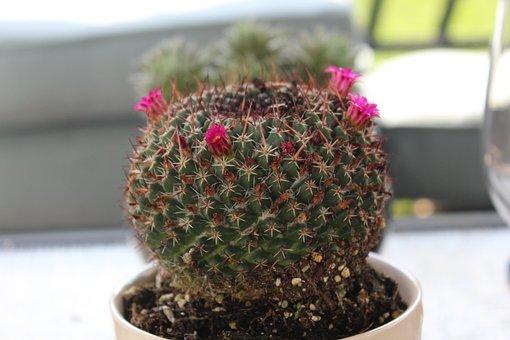 Cactus, Plant, Nature, Garden, Prickly, Pots, Succulent
