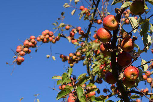 Autumn, Fruit, Harvest, Apple, Fresh, Red, Healthy