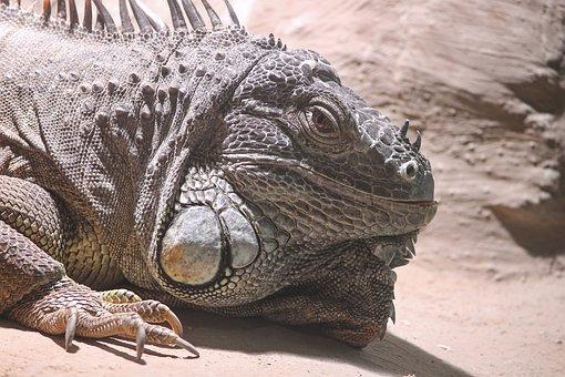 Iguana, Green Iguana, Iguana Iguana, Reptile, Animal
