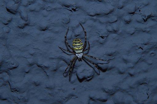Spider, Wasp Spider, Krabbeltier, Animal, Insect