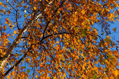 Birch, Late Autumn, Nature, Leaves, Autumn Colours, Sky