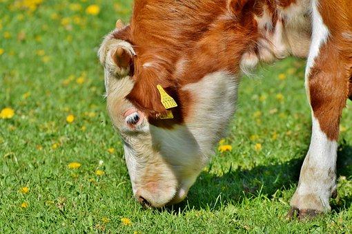 Calf, Cow, Beef, Pasture, Livestock, Ruminant