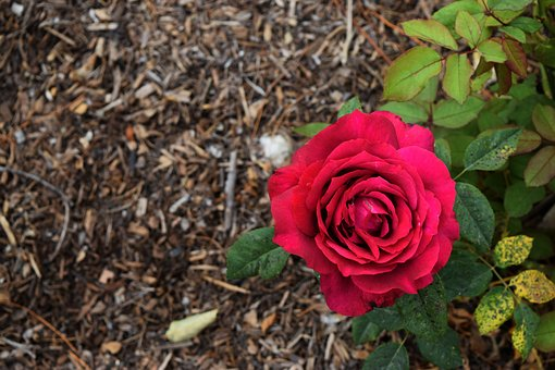 Red, Passion, Rose, Flower, Love, Romance, Valentine