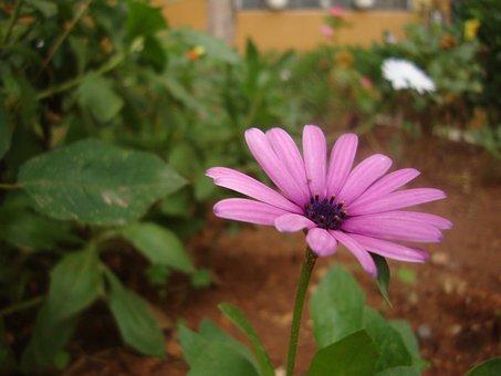 Marguerite, Flower, Plant, Garden, Nature, Summer