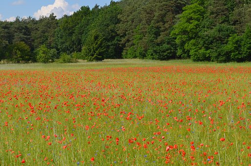 Meadow, Nature, Forest, Poppies, Landscape, Summer