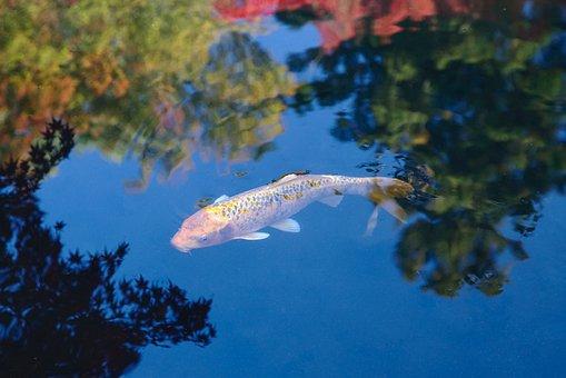 Japan, Nanzen-ji, Koi, Carp, Pond, Mirroring