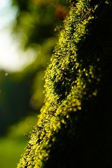 Moss, Growth, Nature, Green, Cratoneuron Filicinum
