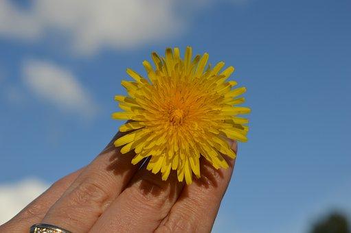 Dandelion, Yellow, Flower, Bloom, Blue Sky, Air, Nature